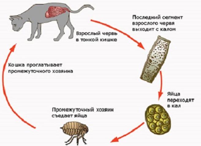 кишечные паразиты у человека симптомы фото кала