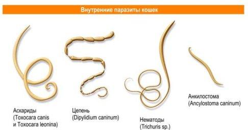 интоксикация от глистов у человека симптомы