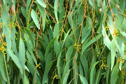 Amazoncom  Plant Therapy Eucalyptus Globulus Organic