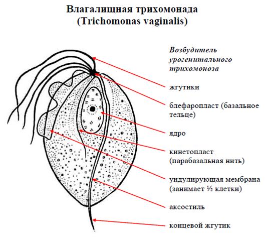 vlagalishnaya-trihomonada-stroenie