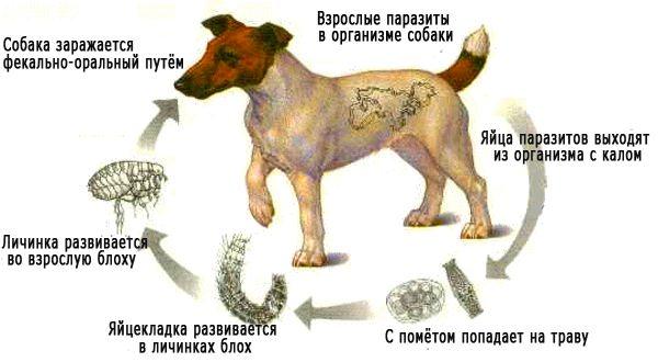 как понять что у собаки глисты симптомы