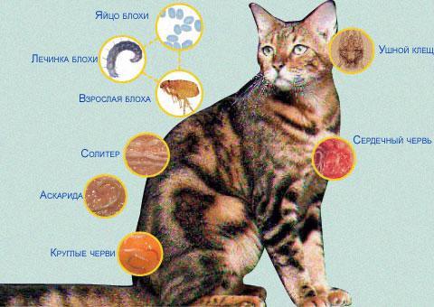 могут ли быть глисты у домашней кошки
