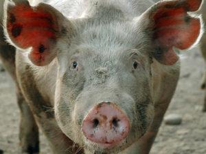 чаще всего болеют свиньи