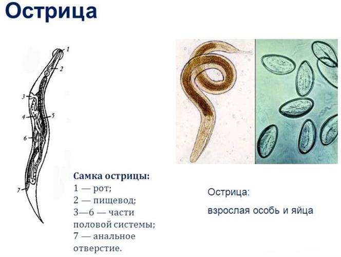 Как сдать анализ на энтеробиоз: виды, особенности исследований
