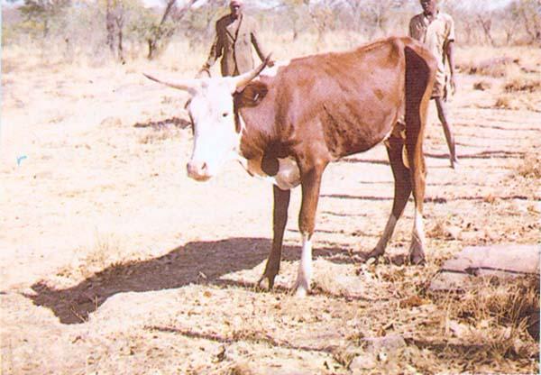 Бабезиоз крупного рогатого скота: протекание, лечение