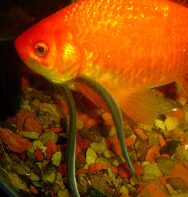 Кандиру - рыба, наводящая ужас