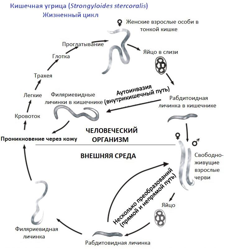 паразиты желудке человека лечение