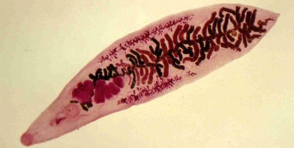 Дикроцелиоз: развитие, протекание, симптомы и лечение