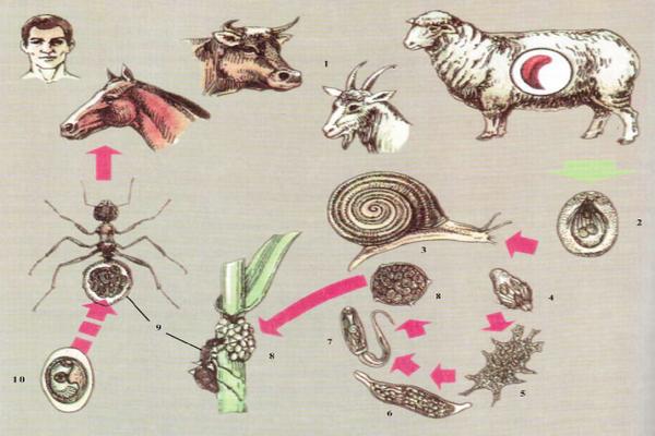 Дикроцелиоз у человека и жвачных животных